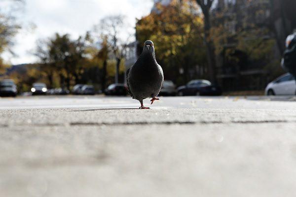 Un pigeon allemand flashé en excès de vitesse