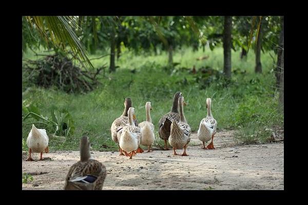 Une famille de canards adoptée par un concessionnaire Nissan